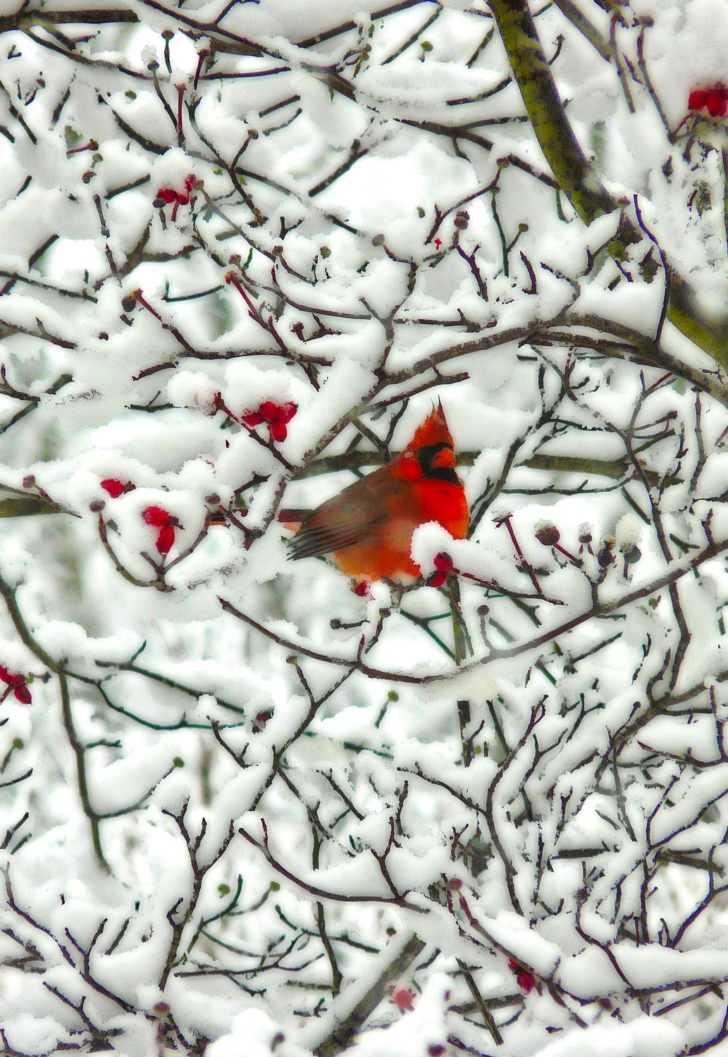 cardinal all puffed up in a snowy tree-  Panasonic DMC-FZ18 - Mr. Cardinal, all puffed up, trying to stay warm. - Tony Karp, design, art, photography, techno-impressionist, techno-impressionism, aerial photography , drone , drones , dji , mavic pro , video , 3D printing - Books -