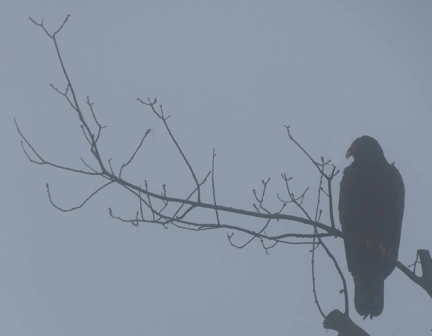 - A vulture in the winter fog. <br>--- Click to see ORIGINAL --- - -  Panasonic DMC-FZ150 - Tony Karp, design, art, photography, techno-impressionist, techno-impressionism, aerial photography , drone , drones , dji , mavic pro , video , 3D printing - Books -