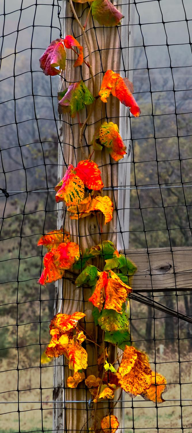 - A vine on a fence post in autumn <br>--- Click to see ORIGINAL --- - Sky Meadows State park - Virginia - Cows - Panasonic DMC-ZS20 - Tony Karp, design, art, photography, techno-impressionist, techno-impressionism, aerial photography , drone , drones , dji , mavic pro , video , 3D printing - Books -