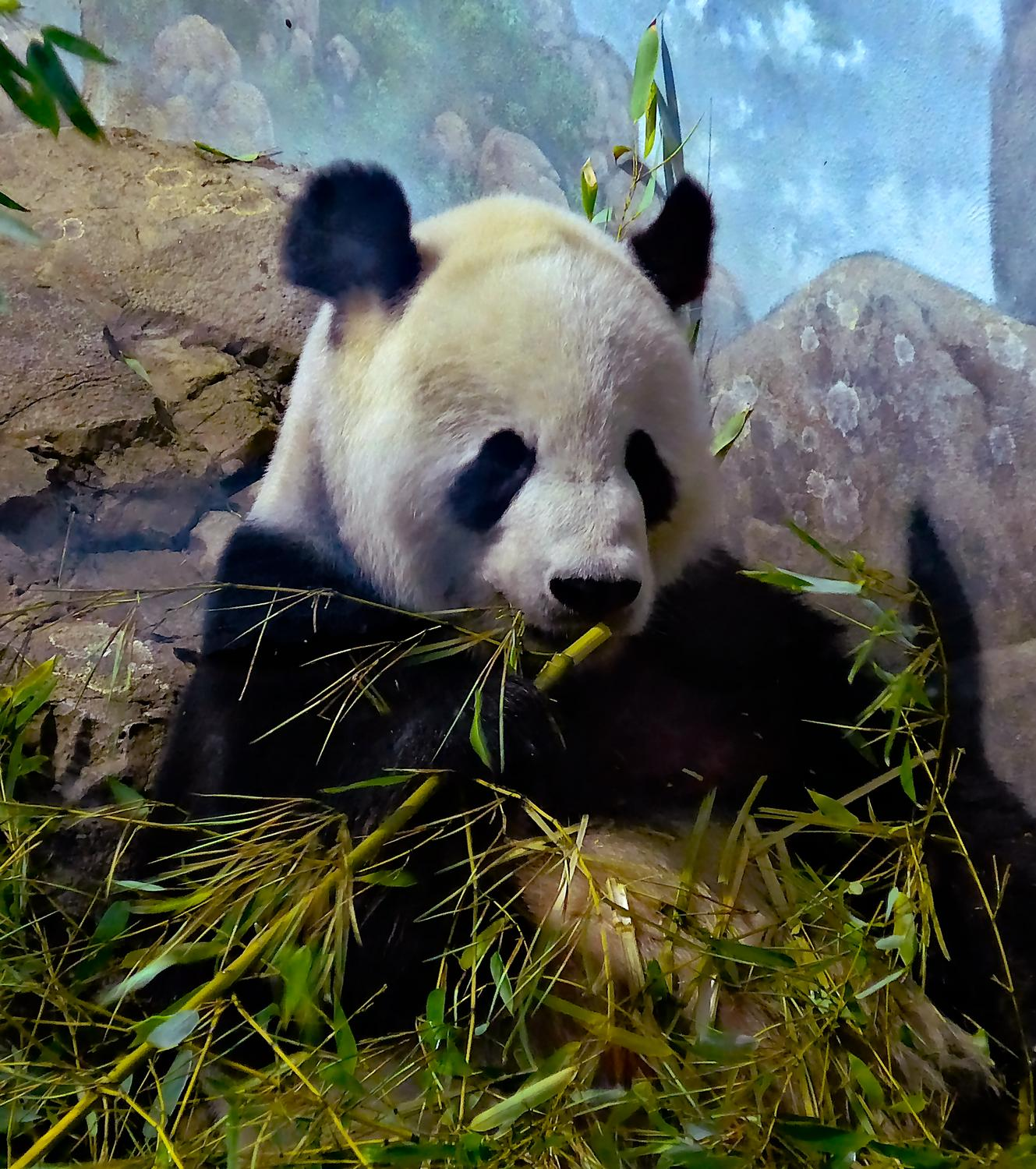 - Mr. Panda enjoys bamboo for lunch, <br> and for breakfast, <br> and for dinner. - - Panasonic DMC-LF1 - Washington DC National zoo - Tony Karp, design, art, photography, techno-impressionist, techno-impressionism, aerial photography , drone , drones , dji , mavic pro , video , 3D printing - Books -