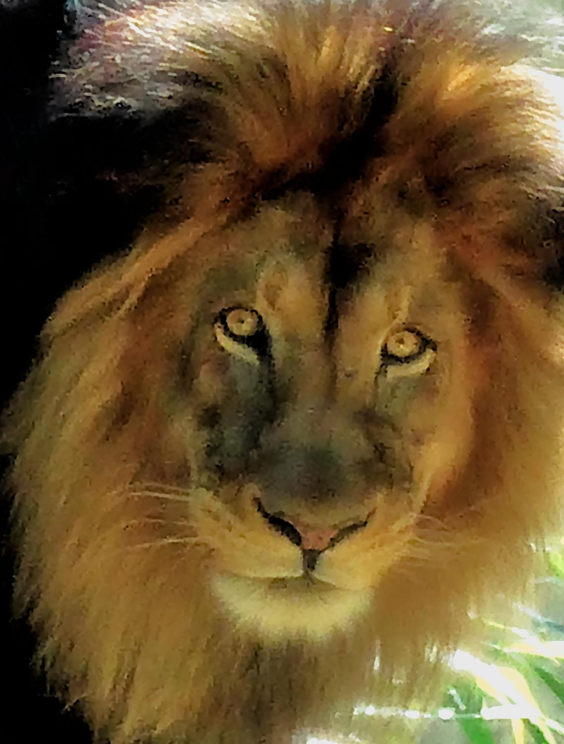 - In this portrait, Mr. Lion is looking directly at you and wondering<br>what's for dinner tonight? - - Panasonic DMC-LF1 - Washington DC National zoo - Tony Karp, design, art, photography, techno-impressionist, techno-impressionism, aerial photography , drone , drones , dji , mavic pro , video , 3D printing - Books -